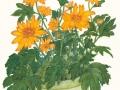 joannes-chrysanthemums
