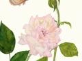 joannes-new-rose