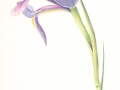 nina-iris