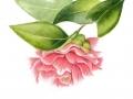 ninas-camellia