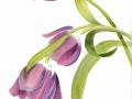 ninas-tulips