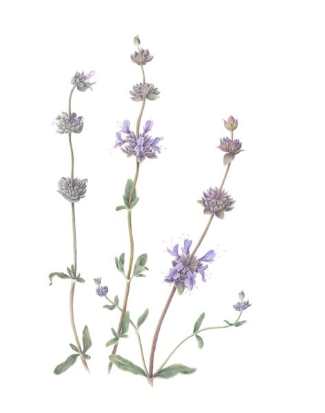 Salvia clevelandii
