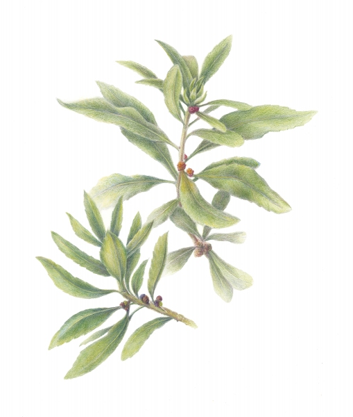 Antze-PacificWaxMyrtle