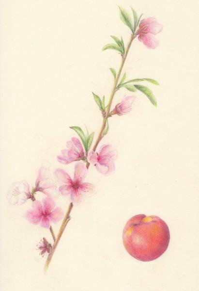 Nectarine-flower-and-fruit