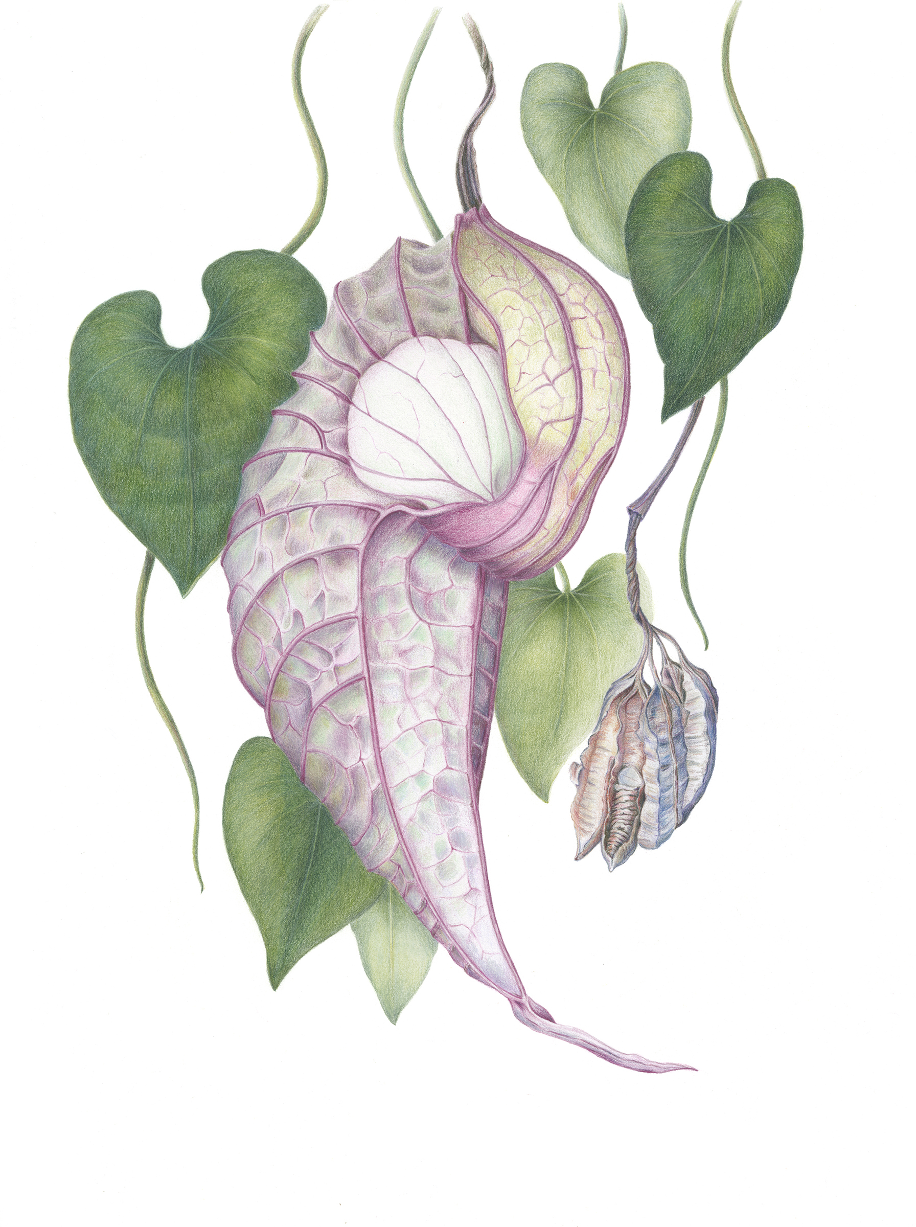 Aristolochia grandiflora, pelican flower