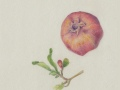 1_Antze-Pomegranate