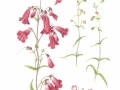 Penstemon 'Firebird""