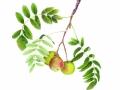 Burbank Jerusalem Pear