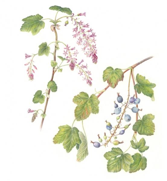 Sebastopol Ribes